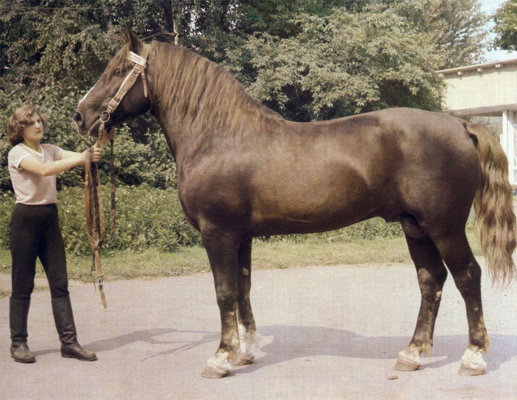 Эти породы - ценные улучшатели местных лошадей