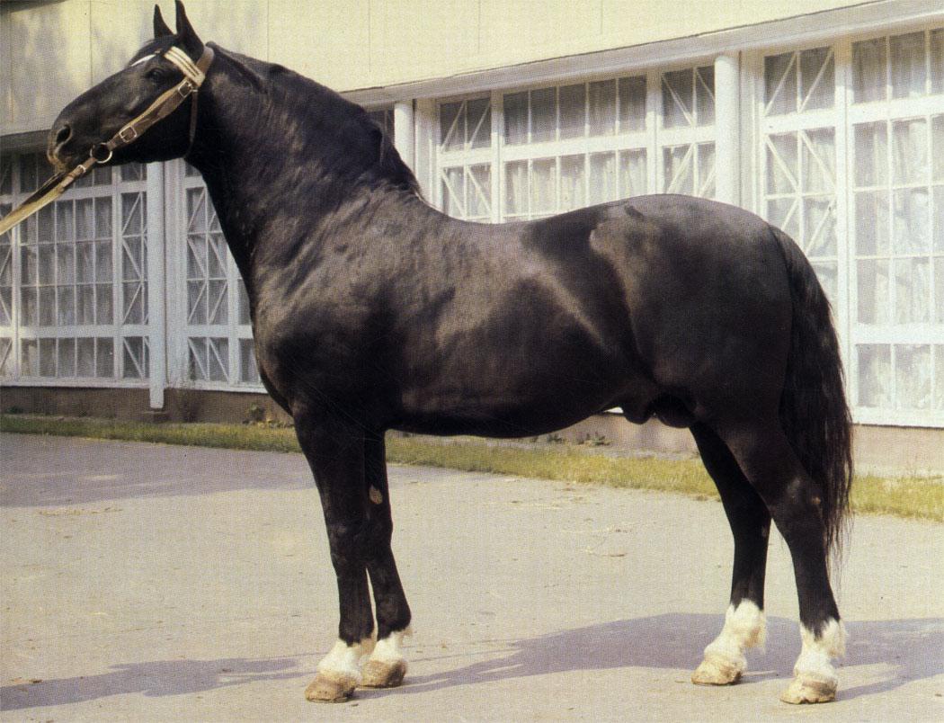 Для лошадей латвийской породы характерна гармоничность телосложения. Жеребец Гиртс отмечен на ВДНХ СССР аттестатом 1 степени