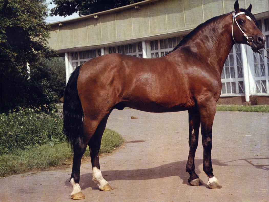 В лошадях русской рысистой породы удачно совмещены гармоничное телосложение, крупный poet и высокая резвость. Жеребец Азиат Омского конного завода