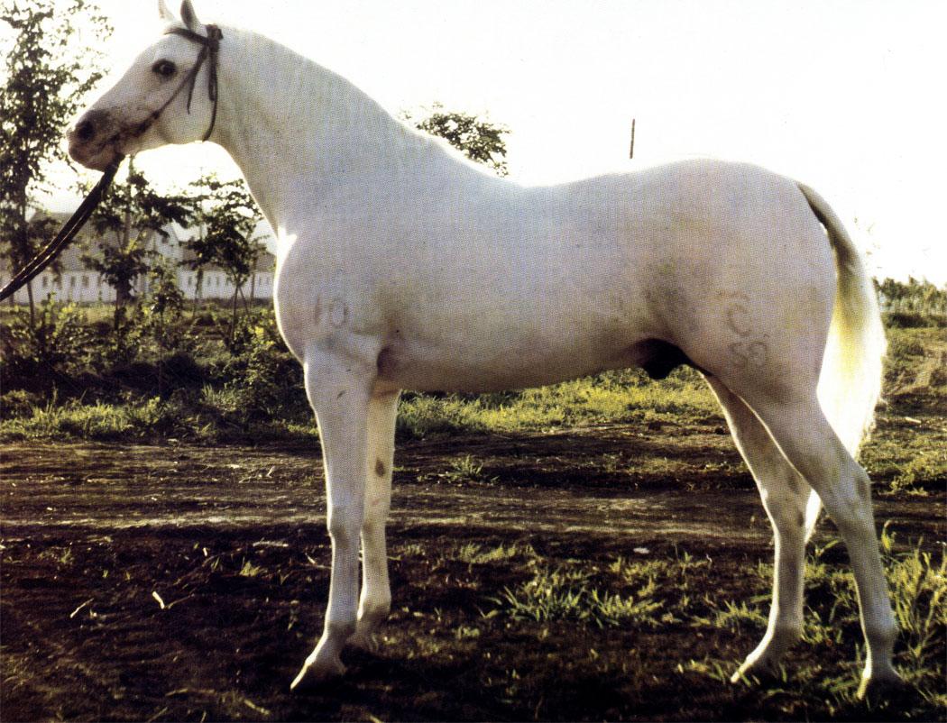 Чемпион терской породы жеребец Самоцвет (Ставропольский конный завод)