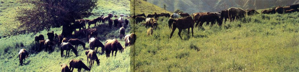 Донская и кустанайская породы - ценнейшие улучшатели лошадей в районах табунного коневодства