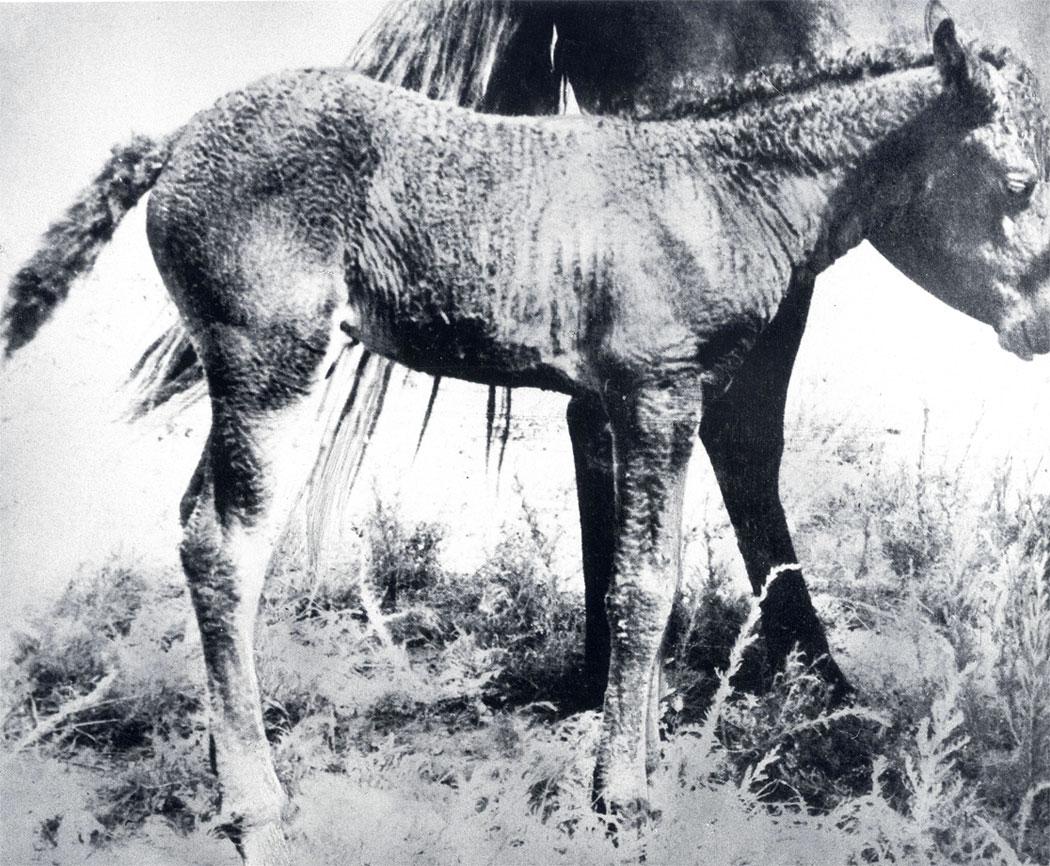 Жеребенок с каракулевидным завитком шерсти - этот признак обусловлен наследственностью