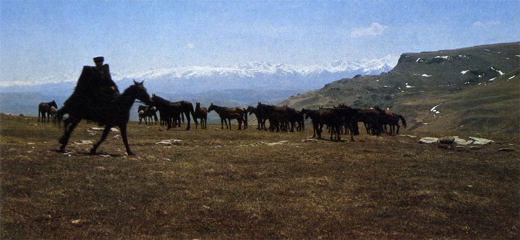 Кабардинские лошади в предгорьях Кавказа