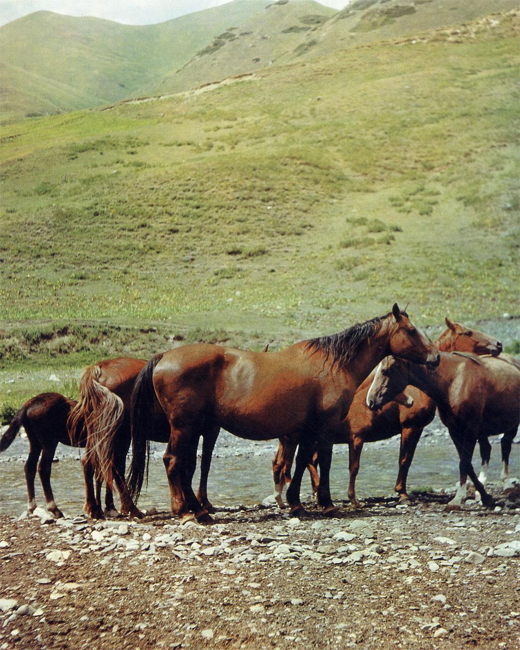 Типичные лошади новокиргизской породы