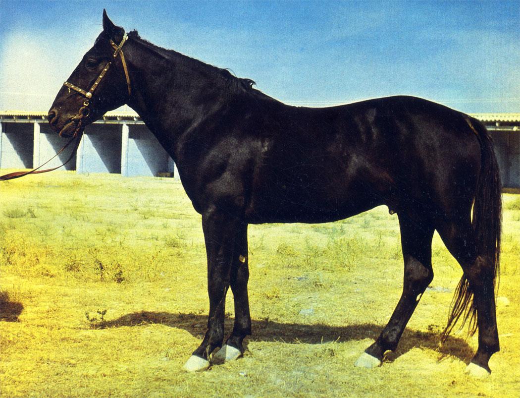Жеребец карабаирской породы массивного типа. Такие лошади ценны для чабанов и хороши для конноспортивных игр