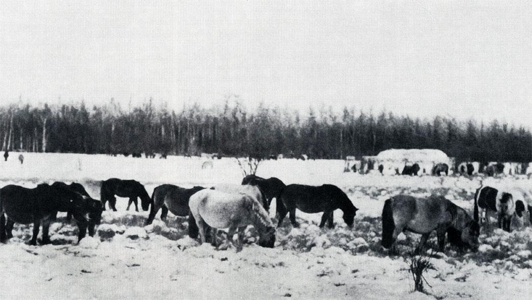 Табун лошадей якутской породы на зимнем пастбище в сильный мороз. Небольшой запас сена для этих лошадей нужен только на случай длительной непогоды