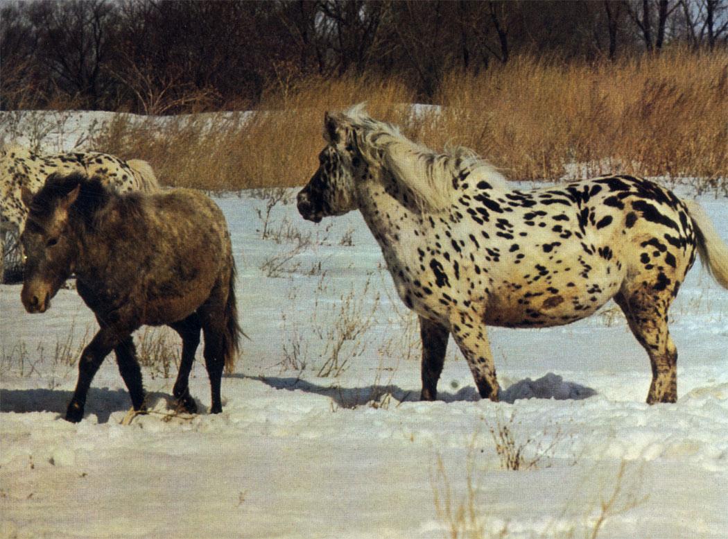 Лошади местной алтайской породы чубарой масти. Качество поголовья на Алтае улучшают скрещиванием с заводскими породами, однако часть местных лошадей разводят в чистоте для сохранения ценного генофонда