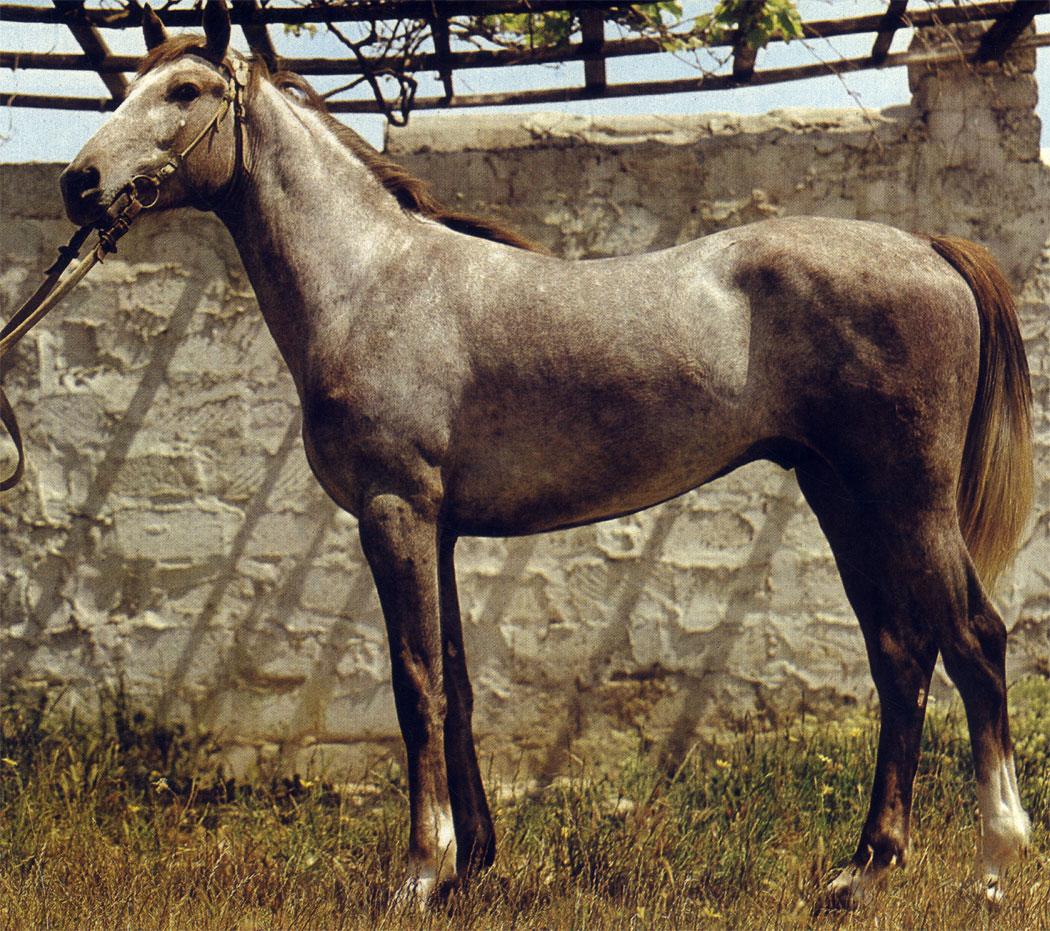 Жеребец местной азербайджанской породы делибоз. Эта порода ценна для конноспортивных игр и туризма