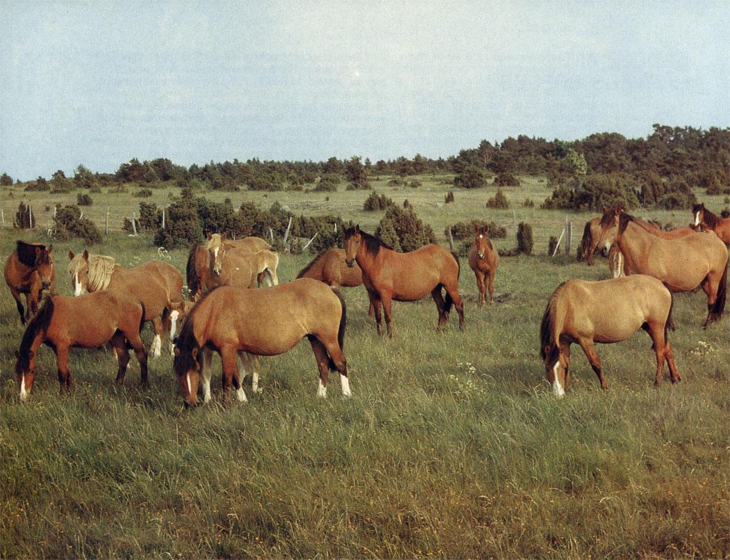 Типичные лошади местной эстонской породы. Их содержат с целью сохранения генофонда