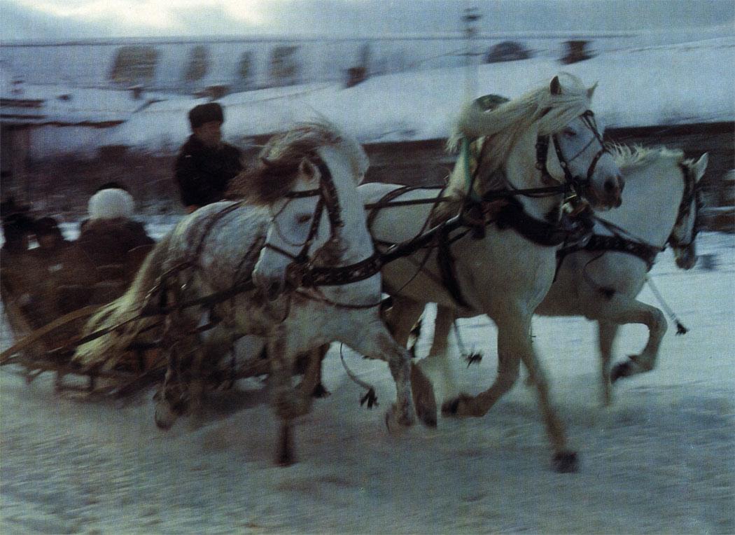 Тройка лошадей жмудской породы (жемайчу)