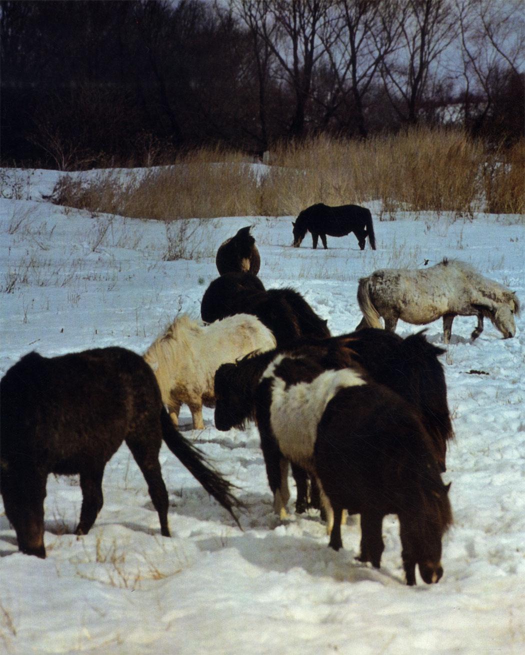 Группа шетлендских пони в Опытном конном заводе. С осени они  обрастают густым мехом и всю зиму находятся под открытым небом