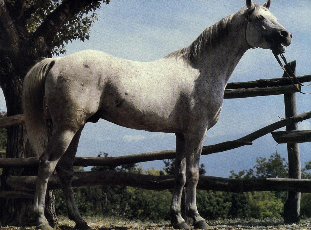 Серый жеребец Кунак получен от скрещивания кобылы местной азербайджанской породы делибоз с терским жеребцом