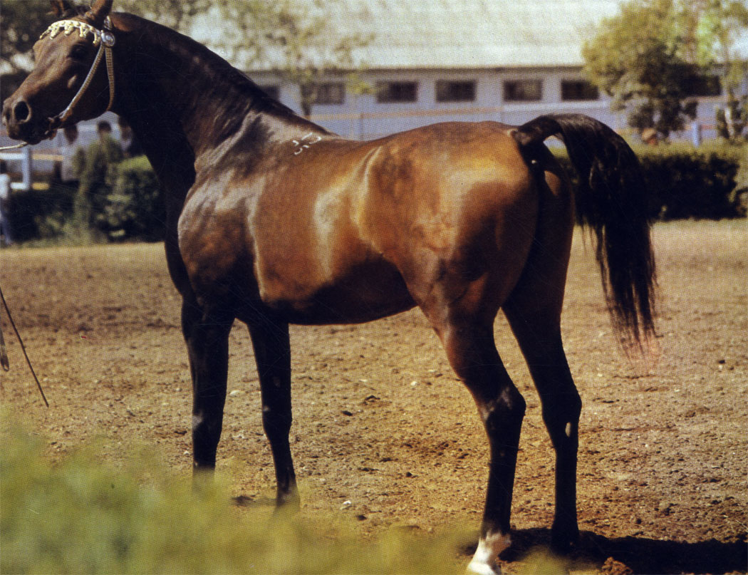 Чистокровный арабский жеребец Песняр Терского конного завода; на Международном аукционе 1981 г. оценен в 1000000 долларов