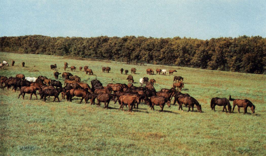 В каждом загоне лошадей пасут 5 . . . 7 дней с возвратом через 30.. . 40 дней