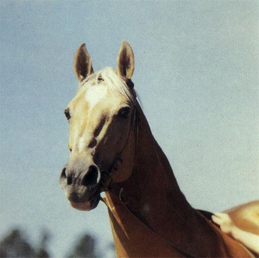 Ахалтекинский жеребец Мелекуш (Ашхабадский конный завод) оригинальной золотисто-буланой в яблоках масти; широко использован как племенной производитель не только в Туркмении, но и за ее пределами