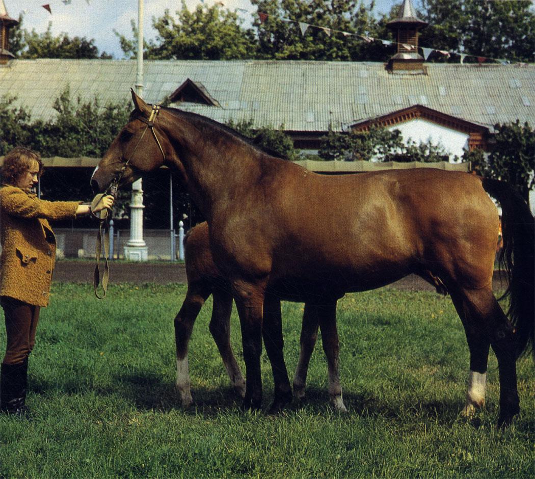 Волга - кобыла латвийской породы. Скрещивание кобыл этой породы с верховыми жеребцами дает отличных лошадей для конного спорта