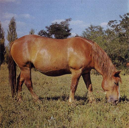 Скрещивание местных лошадей с тяжеловозами повышает их продуктивность